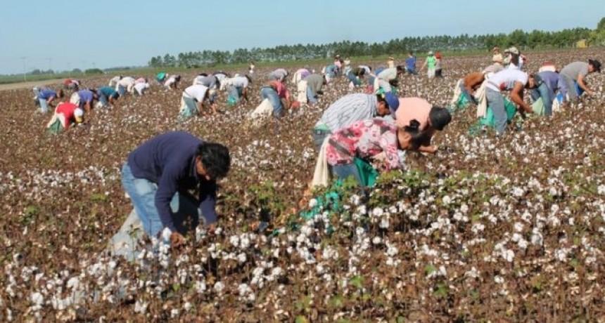 Exitoso concurso de cosecha manual de algodón