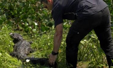 Liberaron en Reconquista a un yacaré negro rescatado en la laguna Setúbal