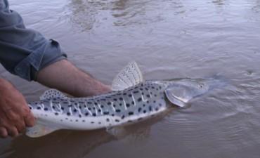 Comienza la veda para la pesca del surubí